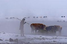 VAN ÇALDIRAN -- Hava sıcaklığının sıfırın altında 30 dereceye kadar düştüğü Van'ın Çaldıran ilçesine bağlı Kalkandelen köyündeki besiciler, kendi imkanlarıyla yaptıkları sallarla açıldıkları Kaz Gölü'nden hayvanlarına yem olarak verebilmek için bitki çıkarıyor