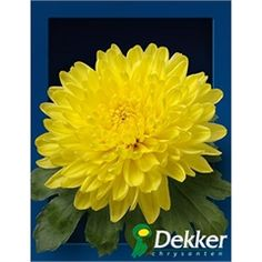Chrysanthemum Blooms Pjotr are a double yellow disbudded, single headed cut flower variety. 70cm tall & wholesaled in 10 stem wraps.