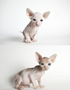 sphynx kittens are so cute! Sphynx Gato, Hairless Kitten, Siamese Cats, I Love Cats, Crazy Cats, Cute Cats, Pretty Cats, Beautiful Cats, Baby Animals