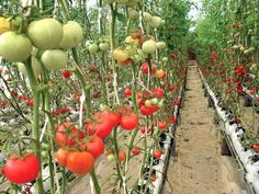 High-tech #agriculture: The extraordinary profits of #hydroponic vegetable #farming