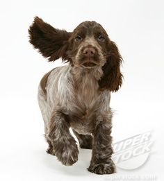 Jammer is cuter but this one's the same coloring. I love my chocolate roan cocker spaniel :)