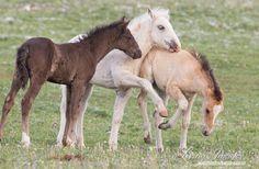 Three Wild Foals Play  Fine Art Wild Horse Photograph by Carol Walker