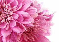 Styled Stock Photography/ Pink Flowers Close Up /Stock Photos/ Styled Photo Background/ Social Media  www.kbsstyling.etsy.com  #pinkflowers #stockphotos