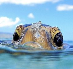 Sea Turtle by Clark Little Photography by sylvia alvarez Tagged with cute, turtles, ocean, sea, ocean creatures; Shared by Blessed you with a small sea Cute and Fluffy Animals for TodayWe Share the Best Funny Photos in the World! Cute Baby Animals, Animals And Pets, Funny Animals, Animals Photos, Nature Animals, Animals Sea, Happy Animals, Cute Turtles, Baby Turtles