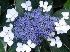 hydrangea images - Google Search