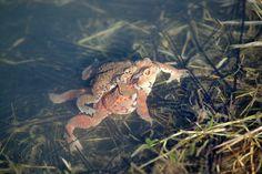 교미 중인 두꺼비. 검정색 실 같은 물체 두꺼비 알. Mating toads. What seems like black thread is egg of toad.