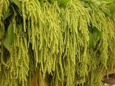 green amaranthus