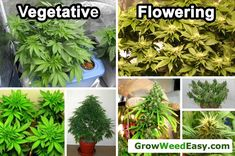 You can keep a cannabis plant in the vegetative stage for basically forever as long as the plant continues to get short nights (shorter than 1s-12 hours, depending on the strain). Description from growweedeasy.com. I searched for this on bing.com/images