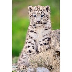 Snow Leopards Discovered Flourishing in Afghanistan ❤ liked on Polyvore featuring animals, leopards and animal print