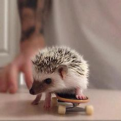 Aww, too cute, a baby Hedgehog skateboarding. Cute Creatures, Beautiful Creatures, Animals Beautiful, Cute Baby Animals, Animals And Pets, Funny Animals, Wild Animals, Animal Pictures, Cute Pictures
