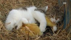 Meet the farm cat who added a few unexpected babies to her litter: Cat sleeps with babies