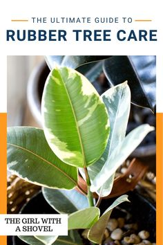 Check out these rubber tree plant care tips! Never wonder again what your plant wants! Know exactly what it needs with these super quick plant care tips! Rubber Plant Care, Ficus Elastica, Apartment Plants, Rubber Tree, Best Indoor Plants, Tree Care, Low Lights, Houseplants, Diy Design