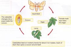 Moth Cocoon, Art Activities For Toddlers, Mulberry Leaf, Life Cycles, Caterpillar, School Projects, Cycling, Silk, Science