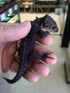 Merveilleux Gratuit Reptiles and amphibians Concepts Reptiles And Amphibians, Les Reptiles, Cute Reptiles, Cute Lizard, Cute Gecko, Cute Snake, Red Eyed Crocodile Skink, Crocodile Eyes, Cute Funny Animals