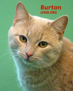 """Burton  BREED: DSH Buff ESTIMATED BIRTH DATE: 09/2012 GENDER: Male I really want a home that has another cat that would like to play with me. The cats in my room just want to sit around and look pretty. I am very good looking too but I don't want to sit around all day and just look good. I want to enjoy life. I would prefer no dogs but children would be good. We could play and when we get tired we could cuddle up together. Since I lived as a stray for a while I am ready for a """"forever home""""."""