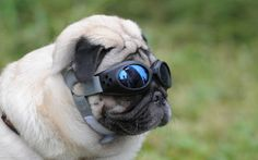 Pug wearing sunglasses. Is there anything cuter?