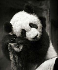 Oso panda encantador