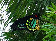 Male Cairns birdwing butterfly.