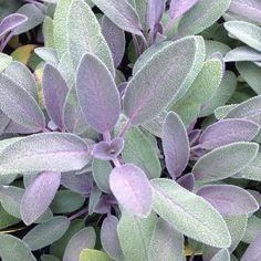 Salvia officinalis 'Purpurea' | Purple Sage – Morningsun Herb Farm