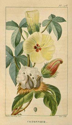 91164 Gossypium arboreum L. [as Gossypium indicum Lam.] / Descourtilz, M.E., Flore médicale des Antilles, vol. 4: t. 278 (1827) [J.T. Descourtilz]