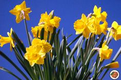 A Teaching Pot of Gold: Daffodils by The Primary Peach--fiction and nonfiction books about daffodils, an art activity, and a FREE resource Kindergarten Activities, Art Activities, Free Photographs, Fiction And Nonfiction, Pot Of Gold, Gladiolus, Teacher Blogs, English Roses, Clematis