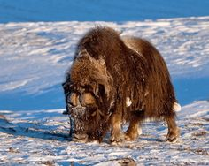 Muskoxes are well adapted to the harsh arctic environment
