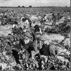 Restos de Colecção: Agricultura  ciclo da vindima