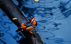 mandarin duck images background (Lowell Fairy 1680x1050)