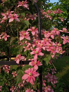 "clematis montana ""Marjorie"" MM-NO- I wonder if this is mislabelled. Doesn't resemble the majority of pics. I don't like other pics."