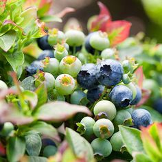 Blueberries - 10 super foods you can grow in your back yard. (We love our blue berries & raspberries!!!)