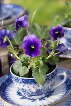 Pansies in blue willow Teacup - I love pansies and blue and white Deco Floral, Arte Floral, Purple Flowers, Beautiful Flowers, Exotic Flowers, Yellow Roses, Pink Roses, Small Flowers, Blue Cups