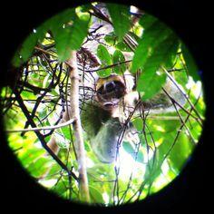 Sloth in #manuelantonio national park #costarica / Oso Perezoso en Parque Manuel Antonio