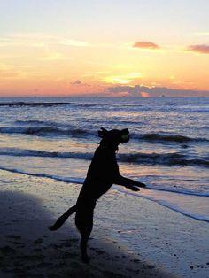 20% Rabatt als Poster: Sonnenuntergang See hund Ball Spiel springen Labrador  Download auf Webseite!  Kategorien: landschaften, sunset, sea, dog, ball, game, jump, labrador, play, fun, animal, world, holland, beach, walk, abendstimmung, sun, joy