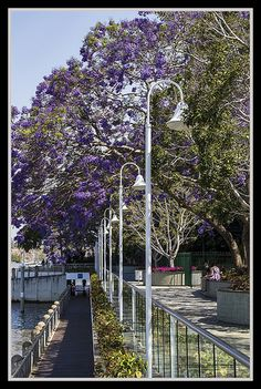 jacaranda trees in bloom, Brisbane River walk, Brisbane, Australia