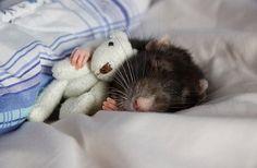 Another rat sleeping...