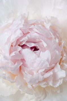 Picture perfect peony.