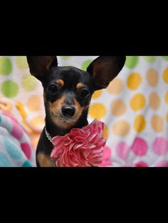 Tilly Marie the best Chiweenie EVER! LOVE her SO!!!!