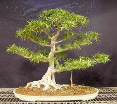 Ficus salicaria, Ficus salicifolia Information