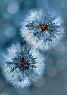 Dandelion clock Wallpaper Flowers Nature Wallpapers) – Free Backgrounds and Wallpapers Foto Macro, Foto Poster, Dandelion Wish, Dandelion Flower, Blue Aesthetic, Macro Photography, Photography Ideas, Belle Photo, Pretty Pictures