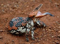 Blue-tongued 'lizard' (tiliqua rugosa rugosa), near Narembeen, Western Australia Cute Reptiles, Reptiles And Amphibians, Mammals, Rare Animals, Animals And Pets, Beautiful Creatures, Animals Beautiful, Geckos, Lizard Species