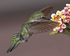 Hummingbird & Lantana Flower