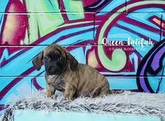 Check out Queen Latifah's profile on AllPaws.com and help her get adopted! Queen Latifah is an adorable Dog that needs a new home. https://www.allpaws.com/adopt-a-dog/pug/6393634?social_ref=pinterest