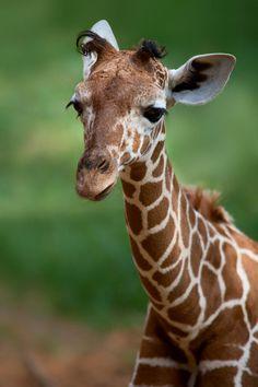 Young Giraffe Photograph