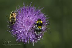 Bee and bumblebee on Carduus nutans - Another macro impression from an alpine meadow in the Zillertal Alps.  Musk thistle with bee and bumblebee ...