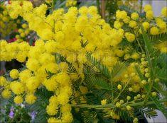 De Acacia dealbata Gauloise ook bekend als mimosa is een groen blijvende boom die ook in struikvorm kan groeien
