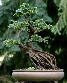 """Exposed root"" style of bonsai Mame Bonsai, Indoor Bonsai, Bonsai Plants, Boxwood Bonsai, Bougainvillea Bonsai, Garden Terrarium, Bonsai Garden, Terrariums, Ikebana"