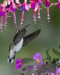 """FUCHSIA HEAVEN"" and hummingbird by Tanya78"
