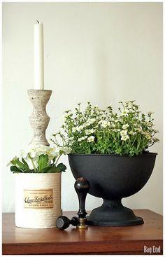 Spring flowers; white Primula and white Touran - Kevätkukkia