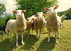 owce na hali ! http://puszystaowca.pl/owce/