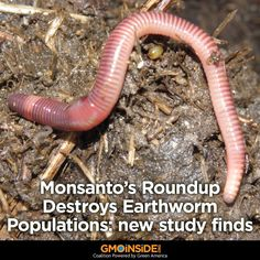 Using glyphosate herbicide can wipe out local earthworm populations, a new study shows. More here: http://www.gmoevidence.com/dr-santadino-glyphosate-destroys-earthworm-eisenia-fetida-populations #roundup #glyphosate #stopmonsanto